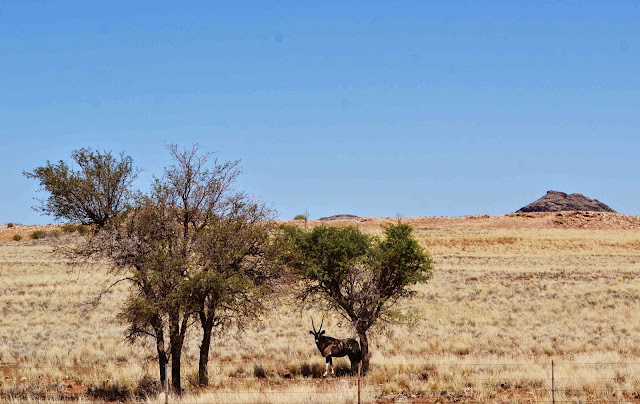 Gemsbok under a tree in Namibia