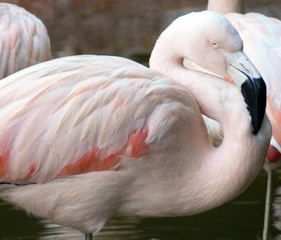 Flamingo at Zoo Atlanta
