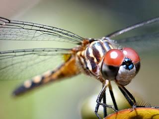 dragonfly.jpg (480×360)