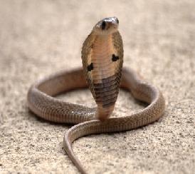 mengatasi gigitan ular