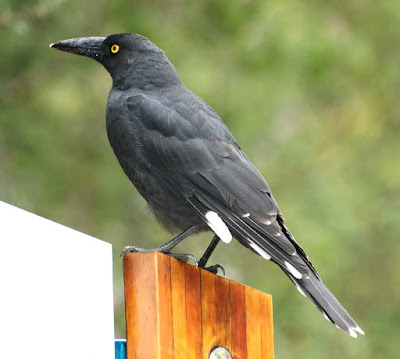 Black Currawong (Strepera fuliginosa)