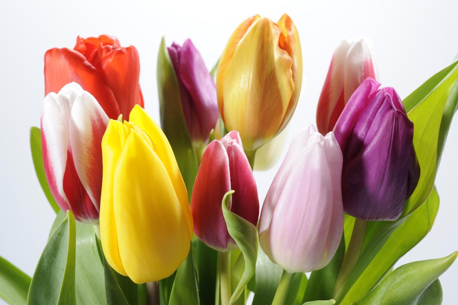 Banco De Im Genes Tulipanes De Colores Para Decorar El