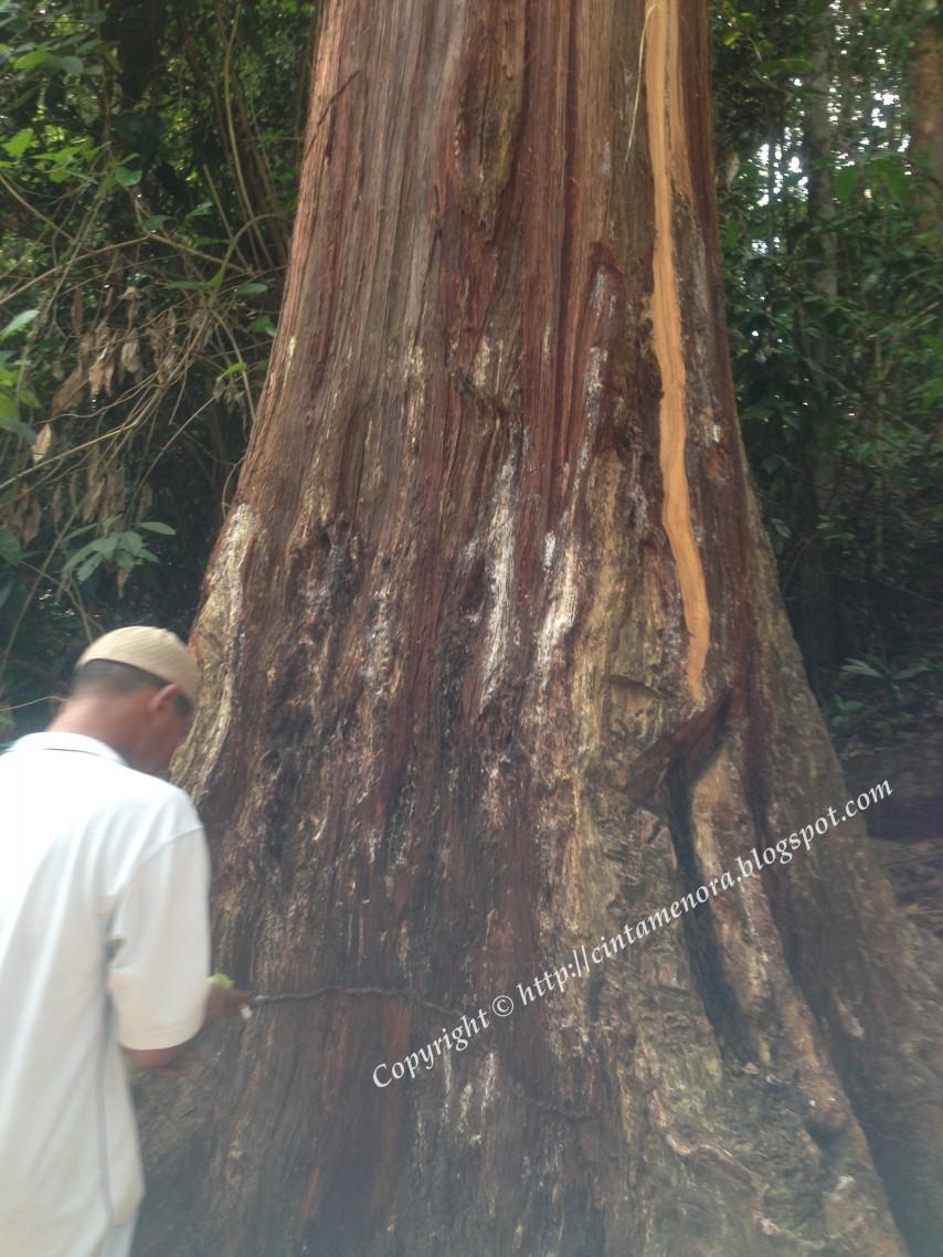 pokok kemenyan