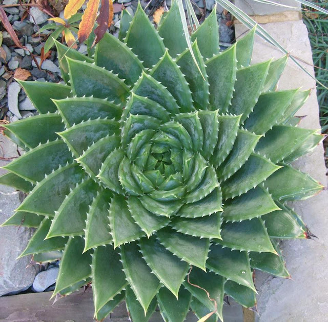 Aloe Polyphylla a fibonacci sequence in nature.