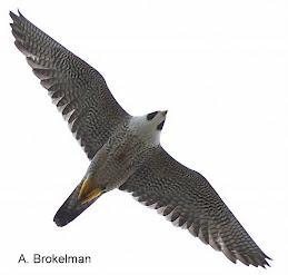 Peregrine Falcon (adult)