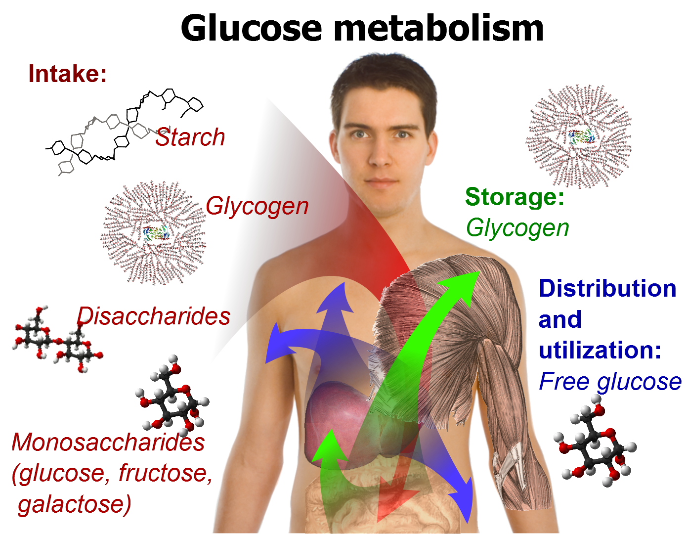 a study on metabolism Metabolism is defined as the sum of all of the chemical reactions within the human body this includes any chemical process by which a substance is broken down, produced, or chemically modified.
