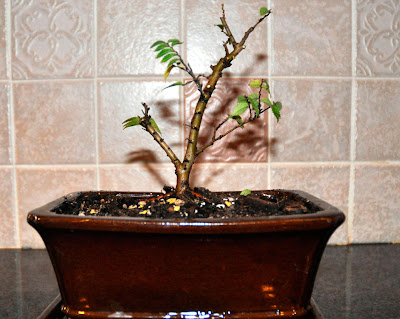 growing indoor bonsai in winter