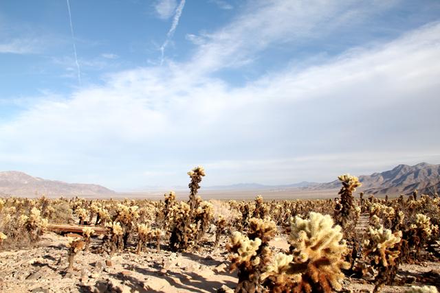 Joshua Tree Cholla Cactus Garden