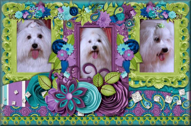 Renaissance Coton de Tulear_Coton de Tulear Puppies_Coton de Tulear Breeders_Coton Breeder in CT