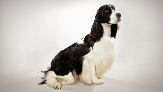 Cute English Springer Spaniel Guide