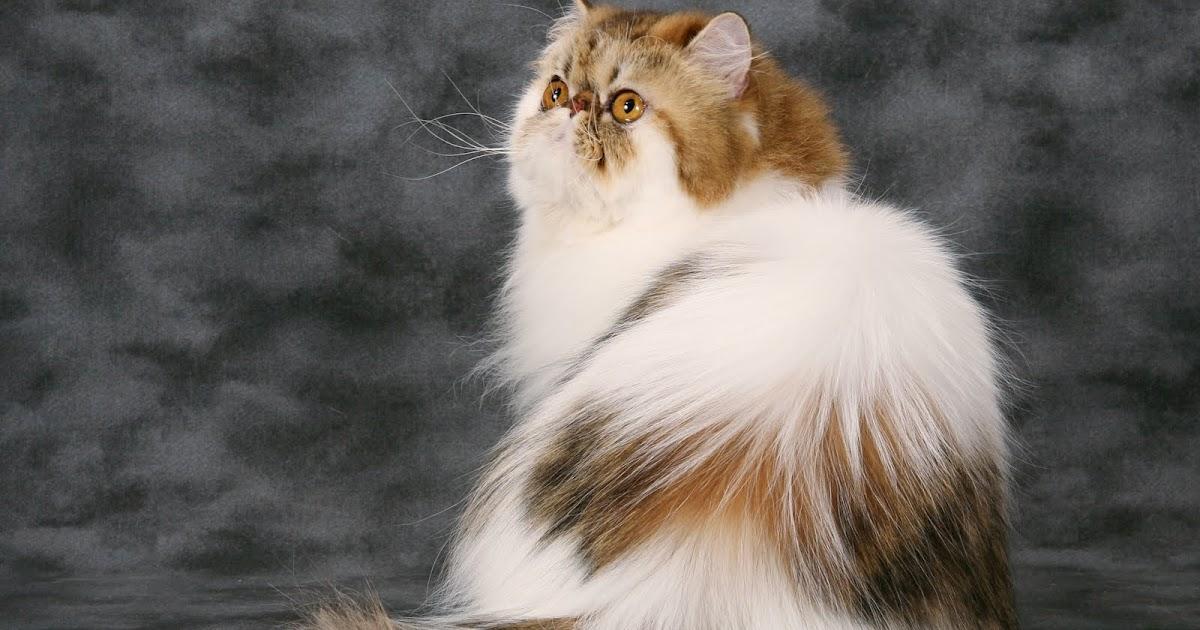 Kucingku Sayang Tips Sebelum Membeli Kucing