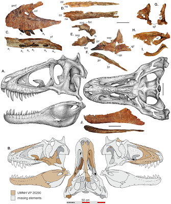 Lythronax skull