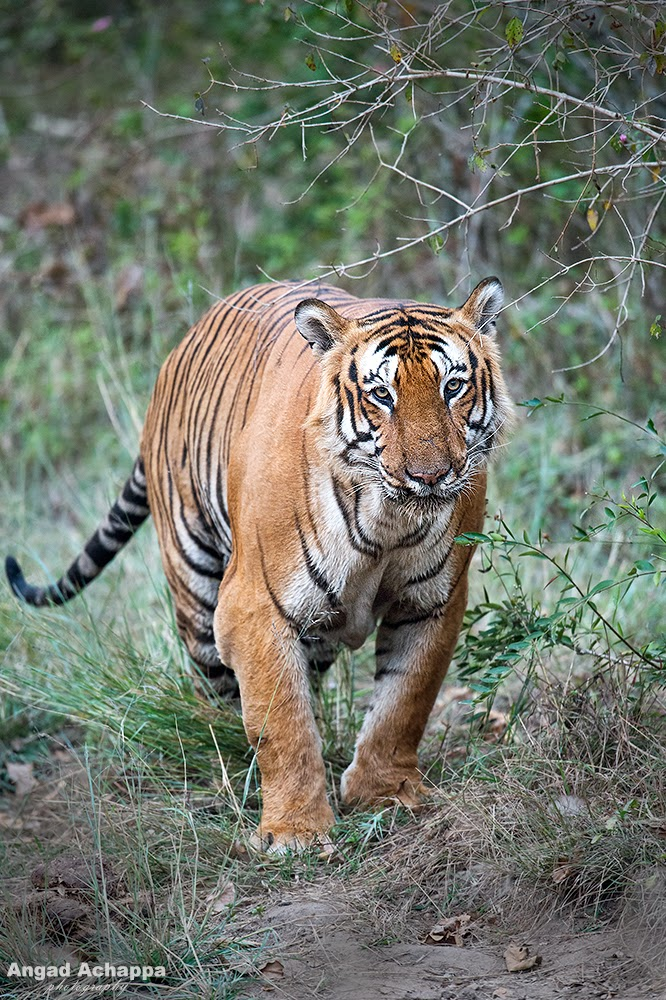 Tiger, Indian Tiger, Bengal Tiger, Panthera tigris, Big Cat, Bandipur, Bandipur National Park, Karnataka, India, Wildlife Photography, Indian Wildlife, top indian wildlife photographers, top indian photographers, panthera