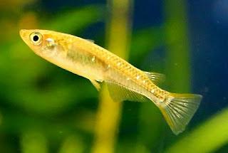 Japanese rice fish