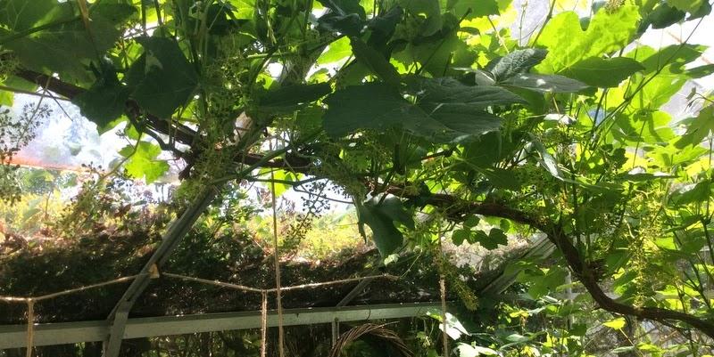 Sommerbeskæring af vindruer