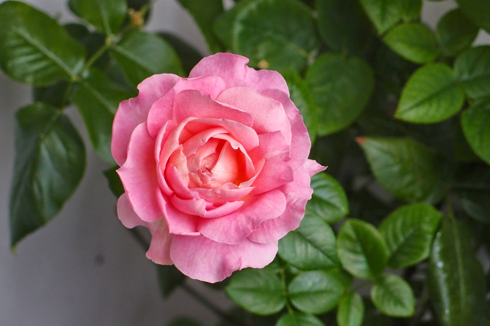 rose on the balcony today