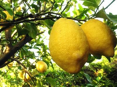 Proprietà olio essenziale di limone