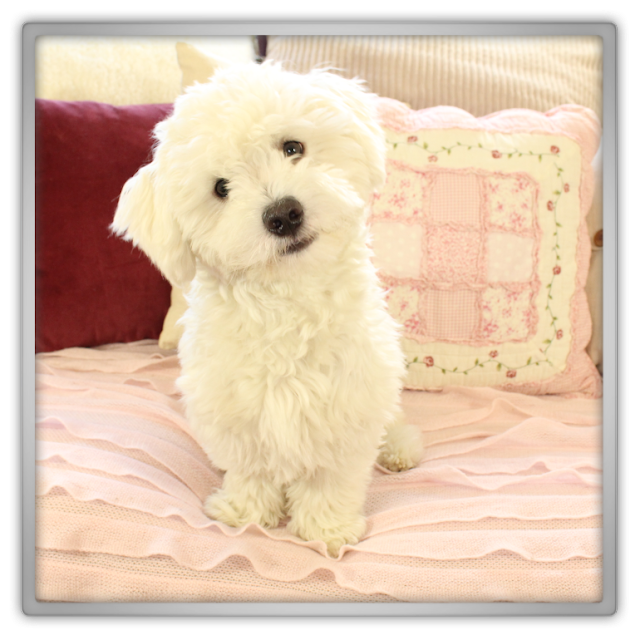 Jofee cute crazy behavior blog pictures photographing white dog fluffy puppy maltese royal prince lunatic