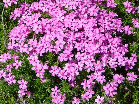 Blog of an ancient gardener deer country 11 spring for Perennial ground cover with pink flowers