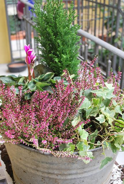 Edera insieme a erica e ciclamini for Piante fiorite perenni da esterno