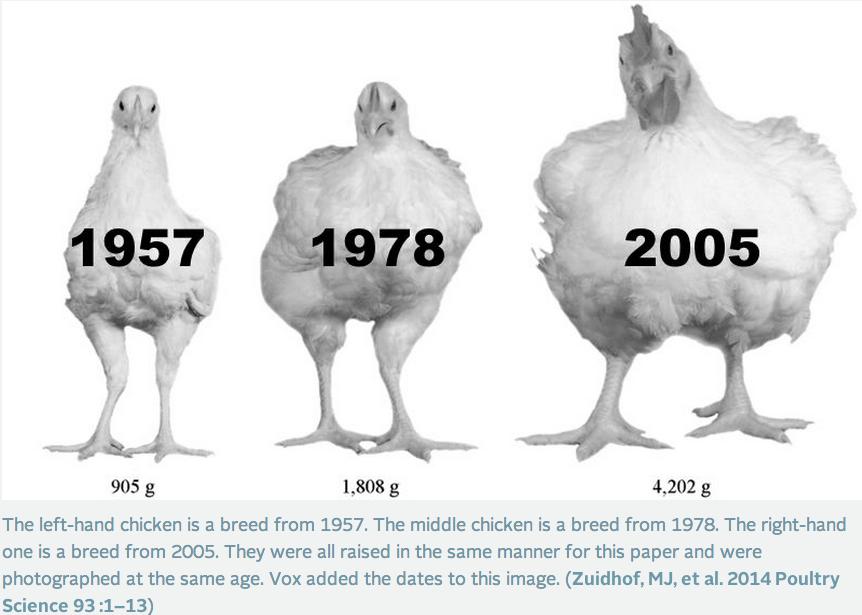 Information Processing: Big Chickens