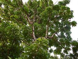 Kemang.., Flora khas Kab.Bogor yang mulai langka...!!!