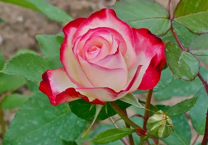 free all hd flowers free rose in the home style 2013