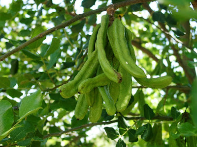 Carob (Ceratonia Siliqua) Overview, Health Benefits, Side effects