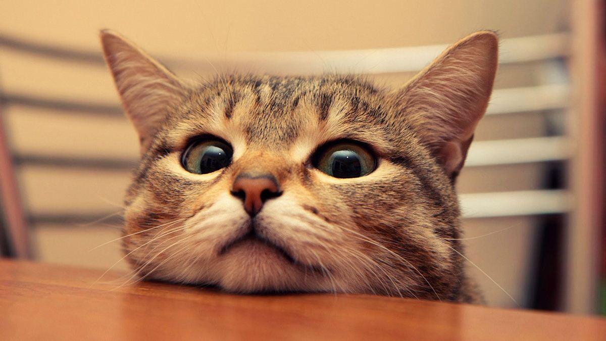 Интересный взгляд, кто бы покормил - прикольные коты 22-11-12