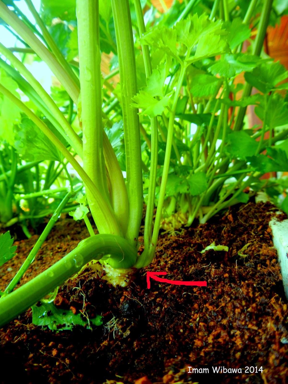 Celery Hydroponics, Seledri Hidroponik