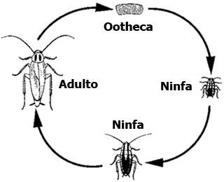 Cucarachas reproduccion