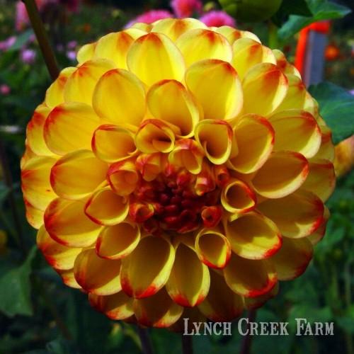 Lynch Creek Dahlias Dahlia Flowers For Winter Try Drying Them Now