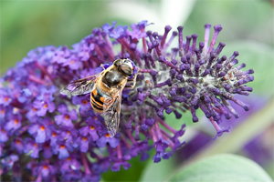 Bees love buddleja