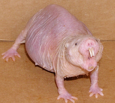 La extraa Rata Topo Lampia - Mascotas - Taringa!