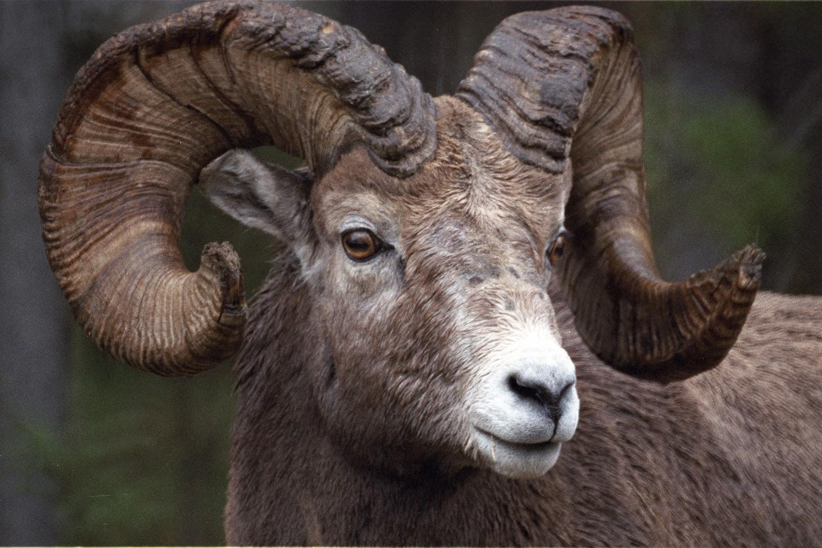 The Azure Gate Finding Bighorn Sheep