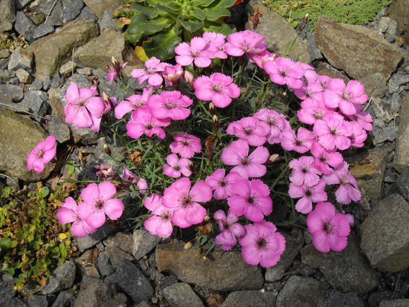 Piante e fiori garofano da giardino dianthus for Fiori sempreverdi da giardino