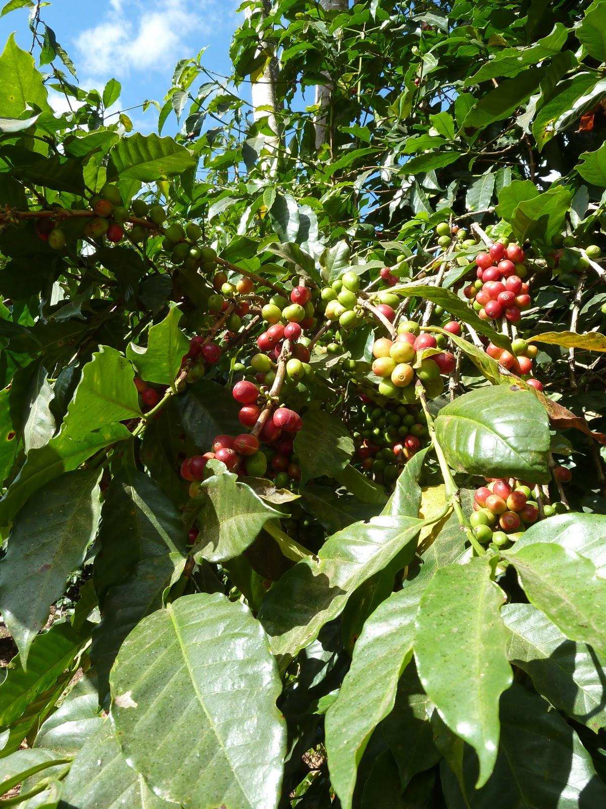 cafe Canephora Koffein i grønn kaffe