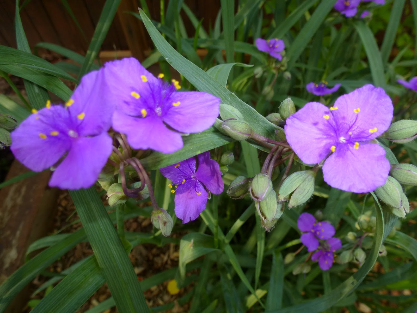 Loris garden spiderwort fridays flower grown in zones 3 9 it has bluish green grass like leaves with three petaled purple flowers the contrasting yellow stamens really set this off mightylinksfo