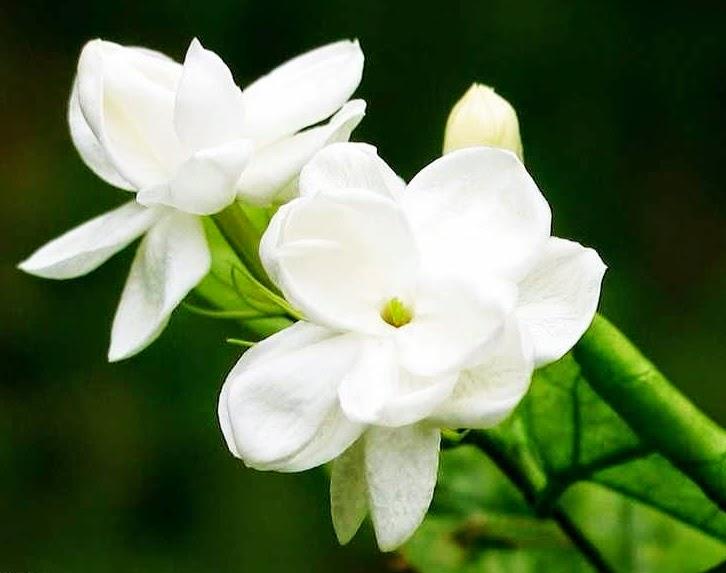 gambar wallpaper bunga melati putih cantik terbaru 2015