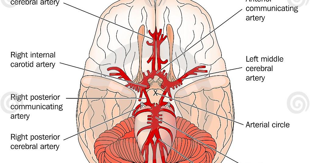 Brian Owens Image: Brain Vasculature