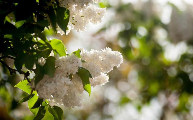 Lente bureaublad achtergrond met witte bloemen aan de boom