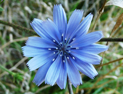 Chicory (Cichorium Intybus) Overview, Health Benefits, Side effects