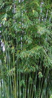 Bambusa Indigena - Emerald Goddess Bamboo