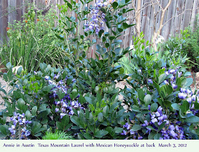 Annieinaustin,texas mountain laurel