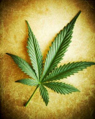 cannabis anbau - cannabis pflanzen
