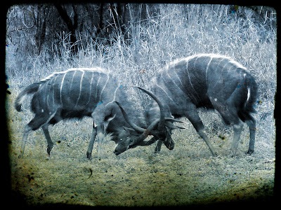 Gnus fighting