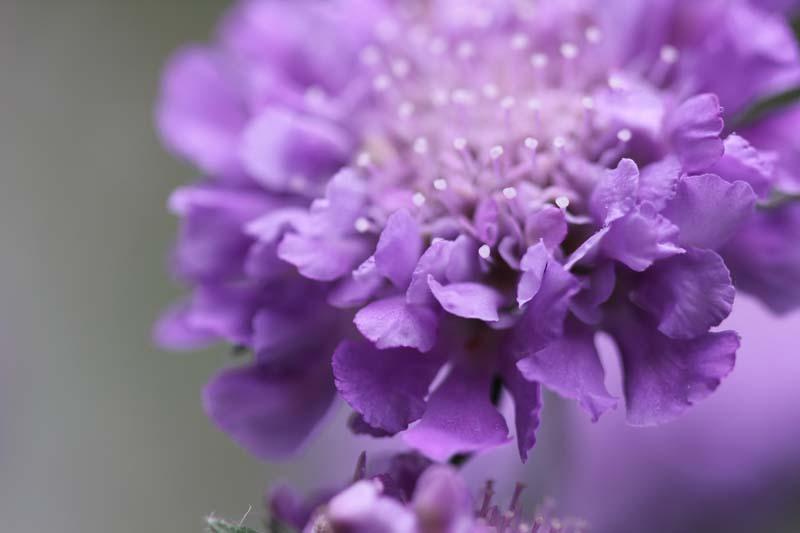 Blüte Taubenscabiose