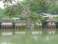長岡天満宮・八条池で「センダン」が満開である。