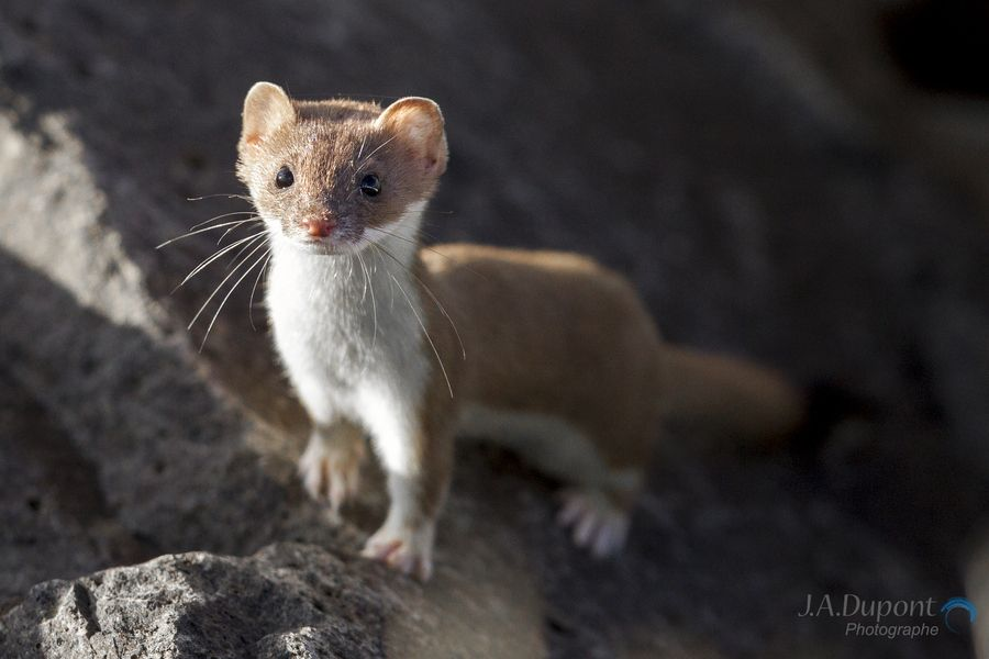 19. Curious Ferret by Jacques-Andre Dupont