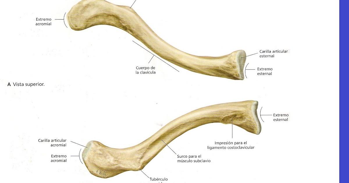 Ayudantias De Anatomia Osteologia De Clavicula